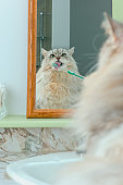 Maine Coon Cat looking in mirror getting his teeth brushed.