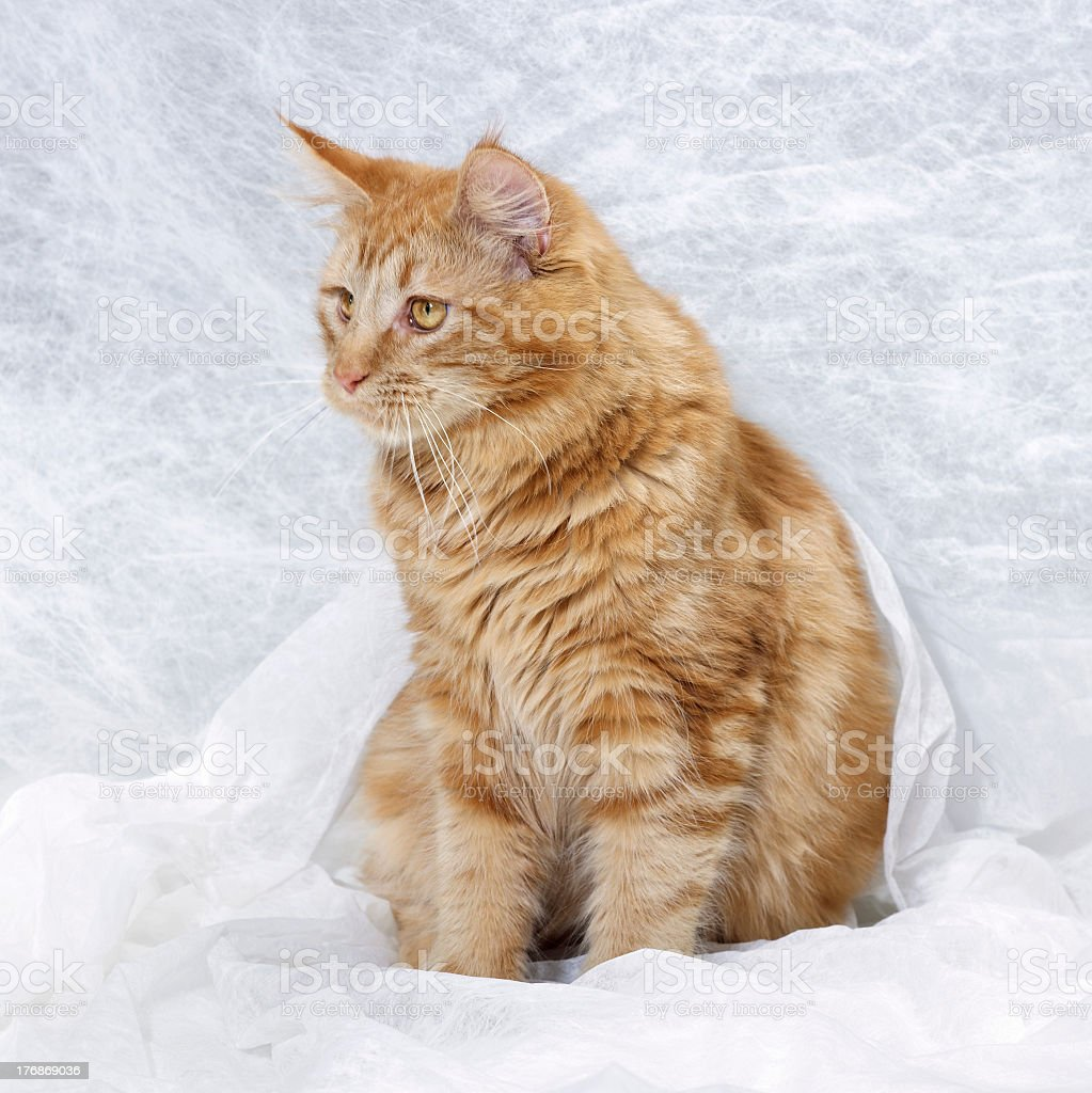 Maine Coon Cat royalty-free stock photo