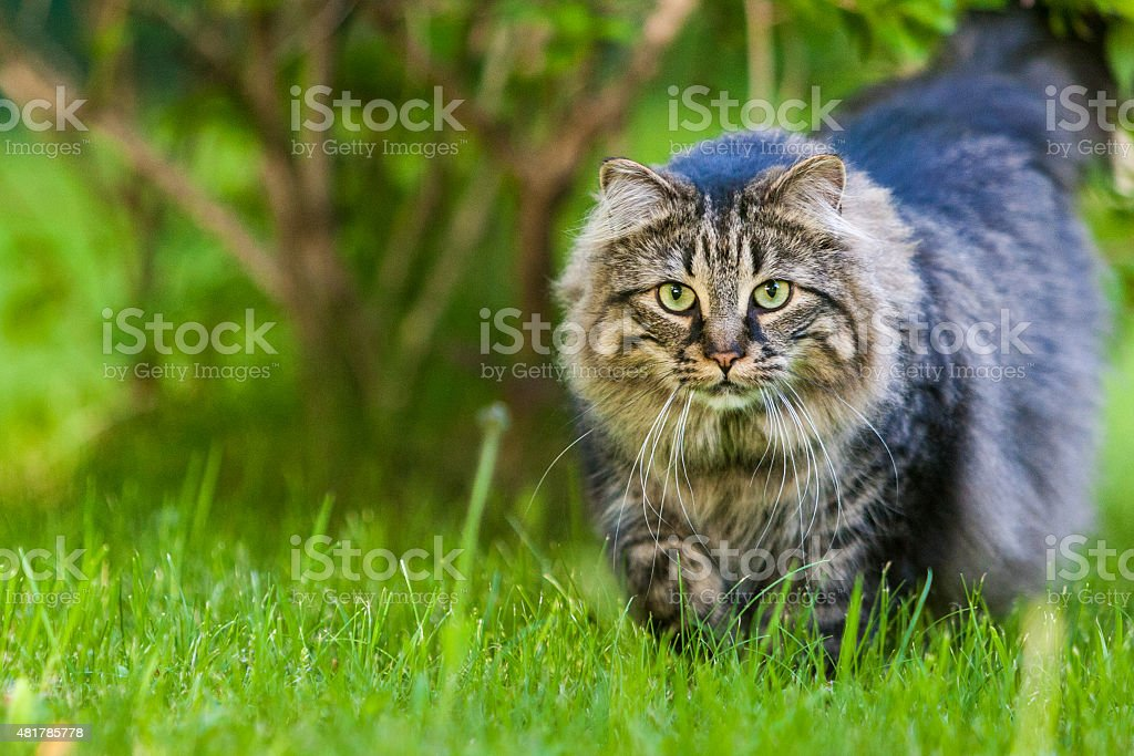 Maine Coon cat stock photo