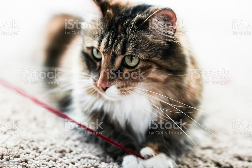 Maine Coon Cat Playing with Red Yarn stock photo