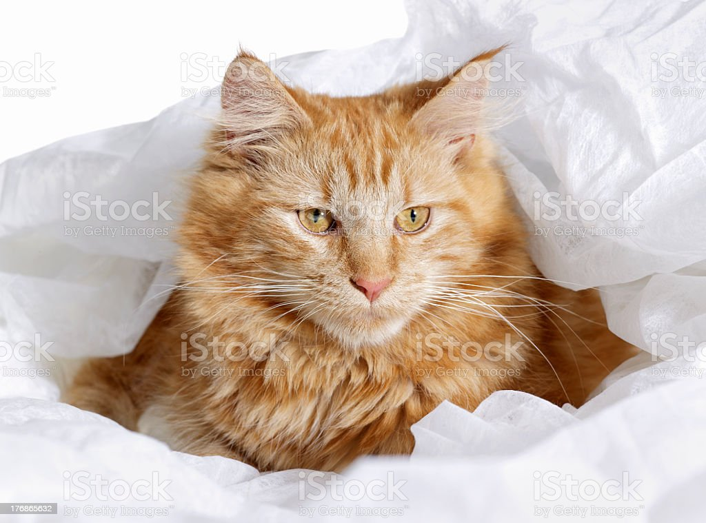 Maine Coon Cat portrait royalty-free stock photo