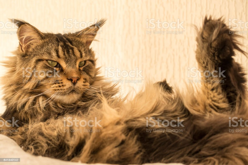 Maine Coon Cat with long lynx tips sitting on hammock stock photo