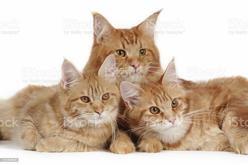Maine coon cats stock photo