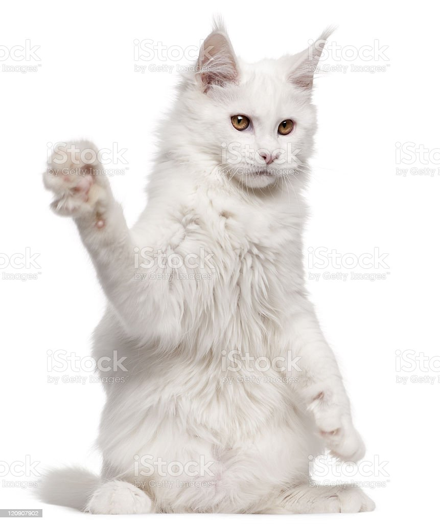 Maine Coon, five months old, with paw up, white background. royalty-free stock photo