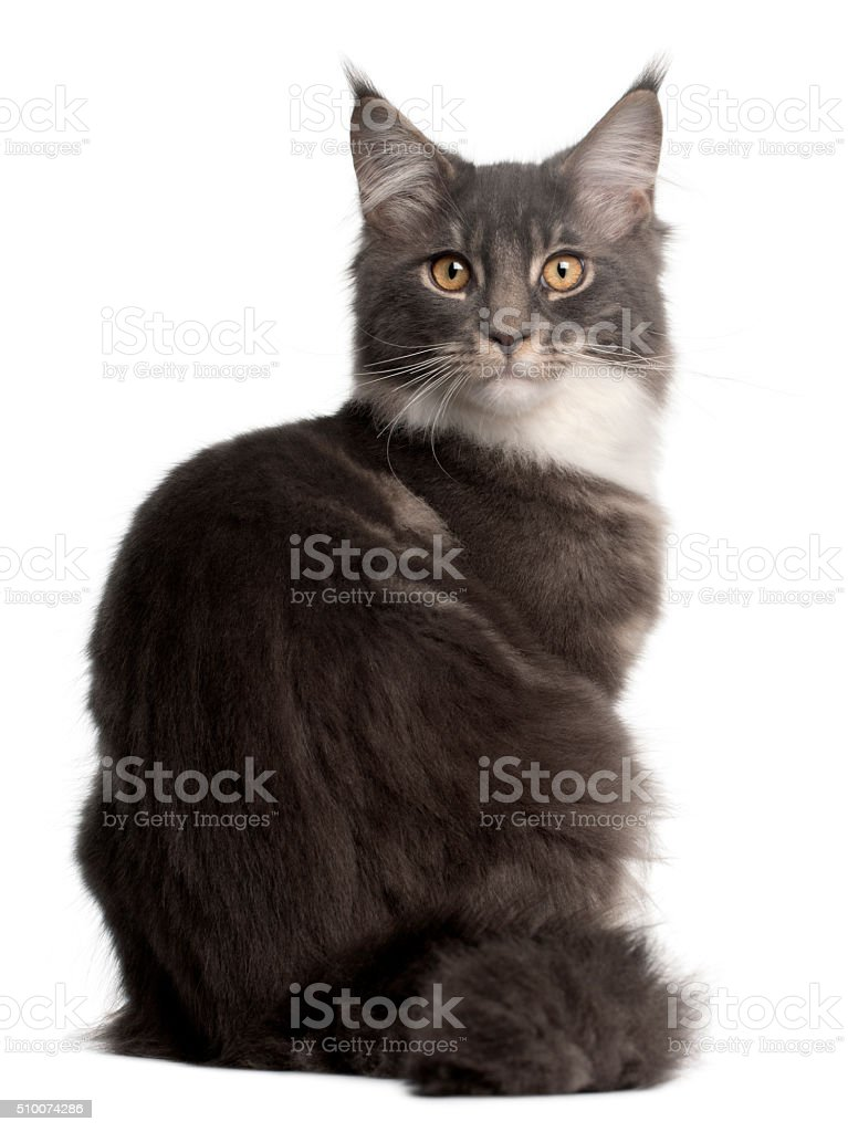 Maine Coon Kitten, 5 months old, sitting stock photo