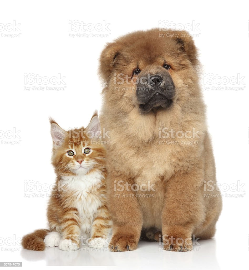 Maine Coon kitten and Chow Chow puppy stock photo