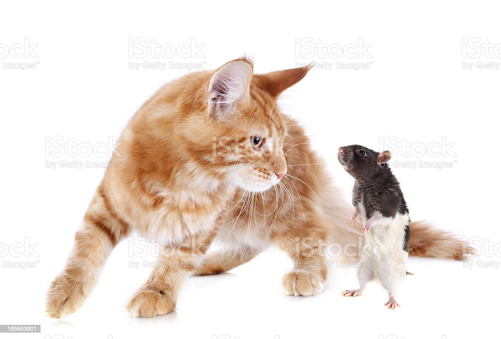 maine coon kitten and rat royalty-free stock photo