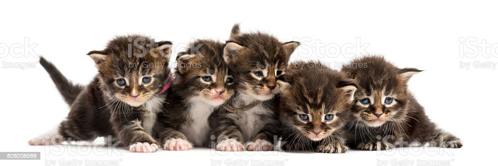 Maine coon kitten in a row isolated on white stock photo