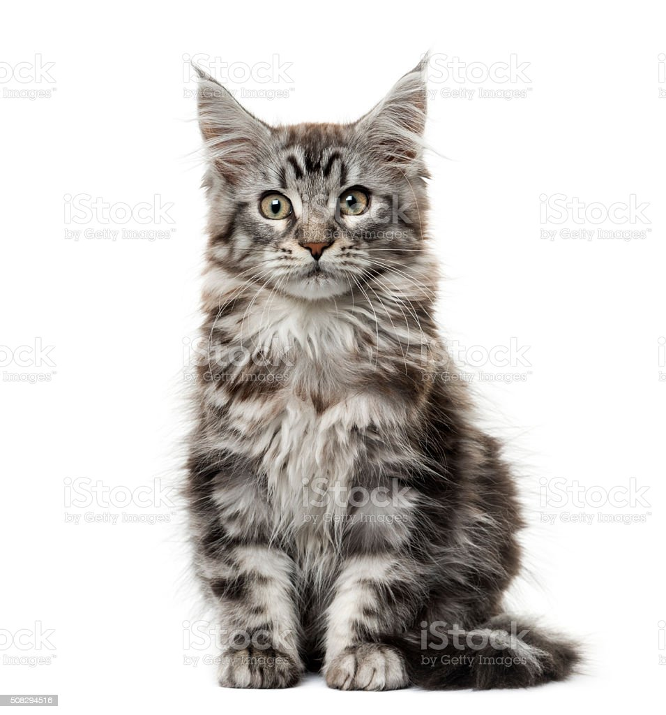 Maine coon kitten in front of white background stock photo