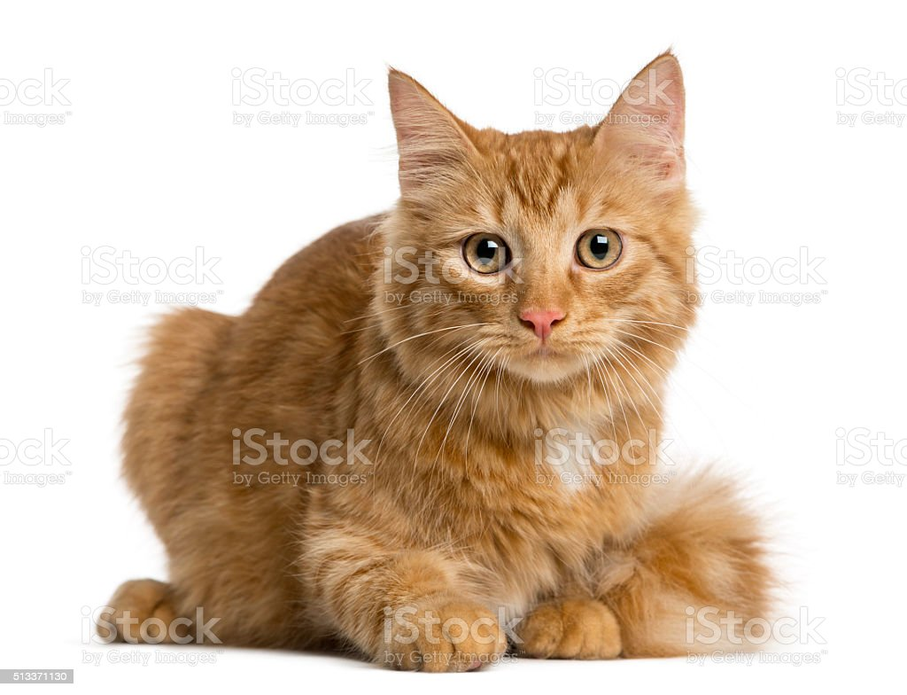 Maine Coon kitten lying in front of a white background stock photo