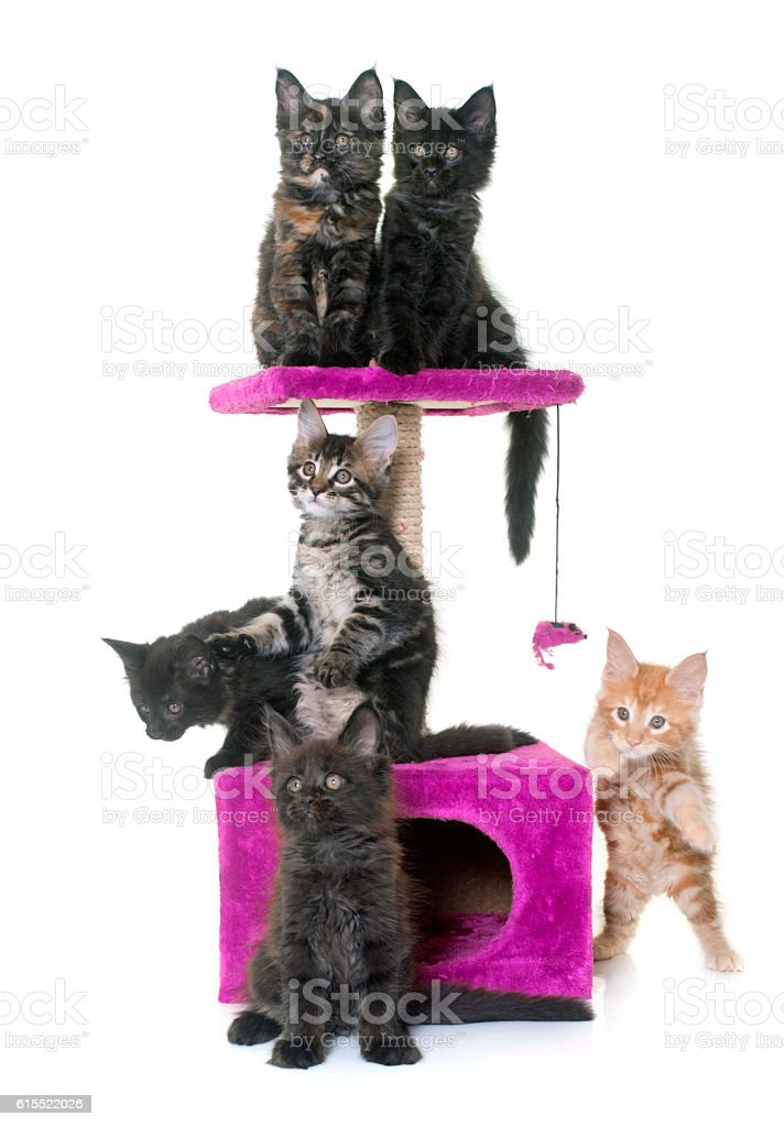 maine coon kitten on scratching post stock photo