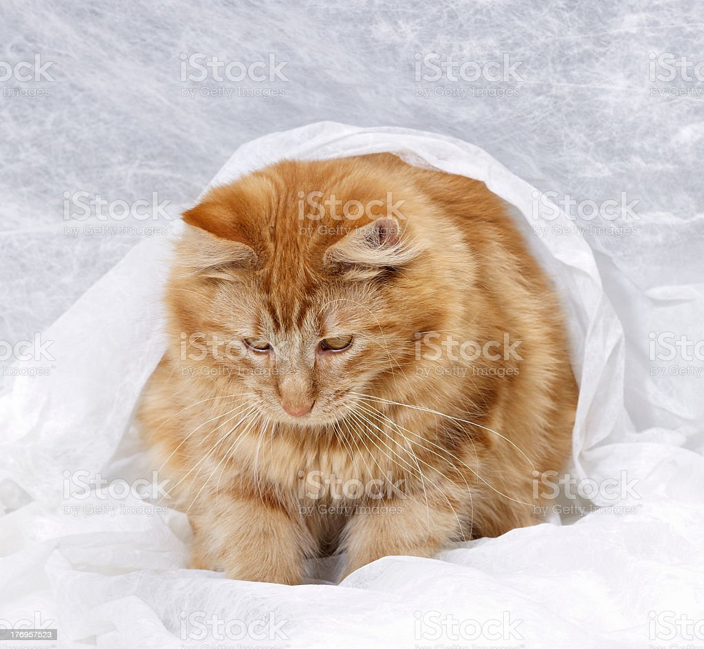 Maine Coon kitten royalty-free stock photo