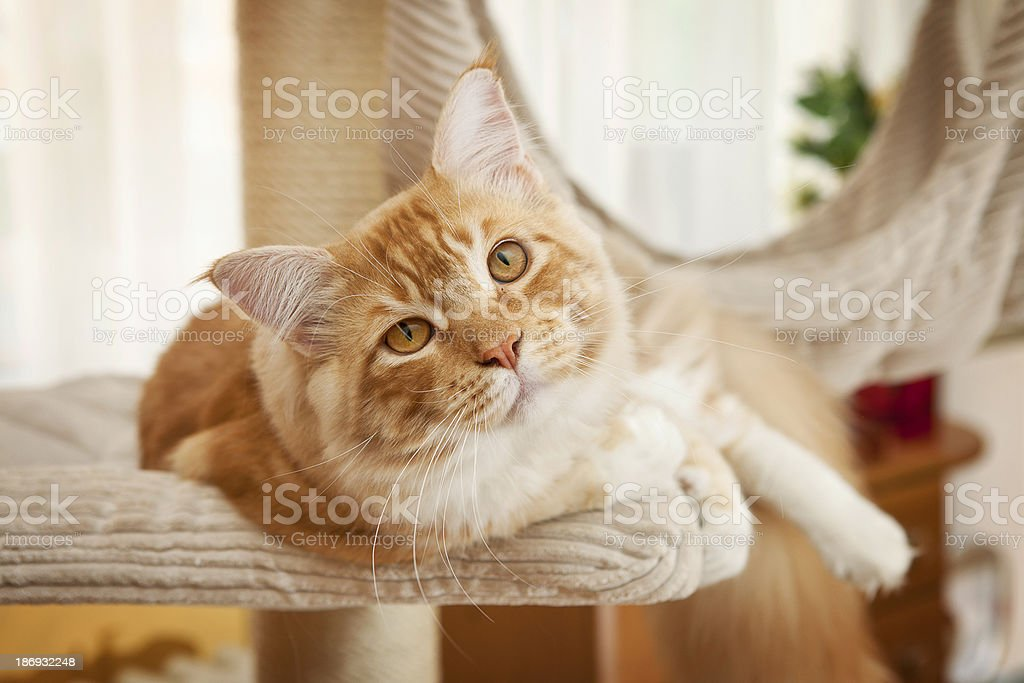 Maine Coon Kitten royalty-free stock photo