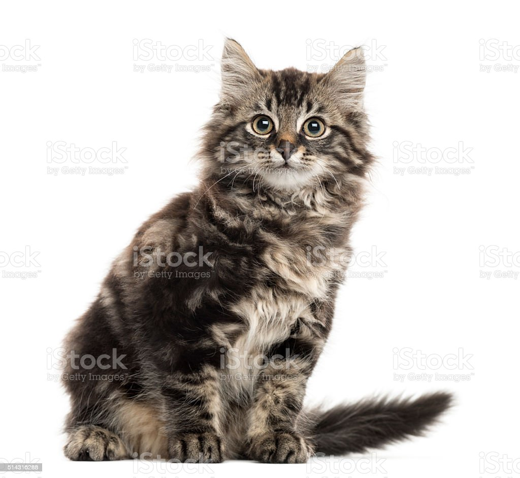 Maine Coon kitten sitting in front of a white background stock photo