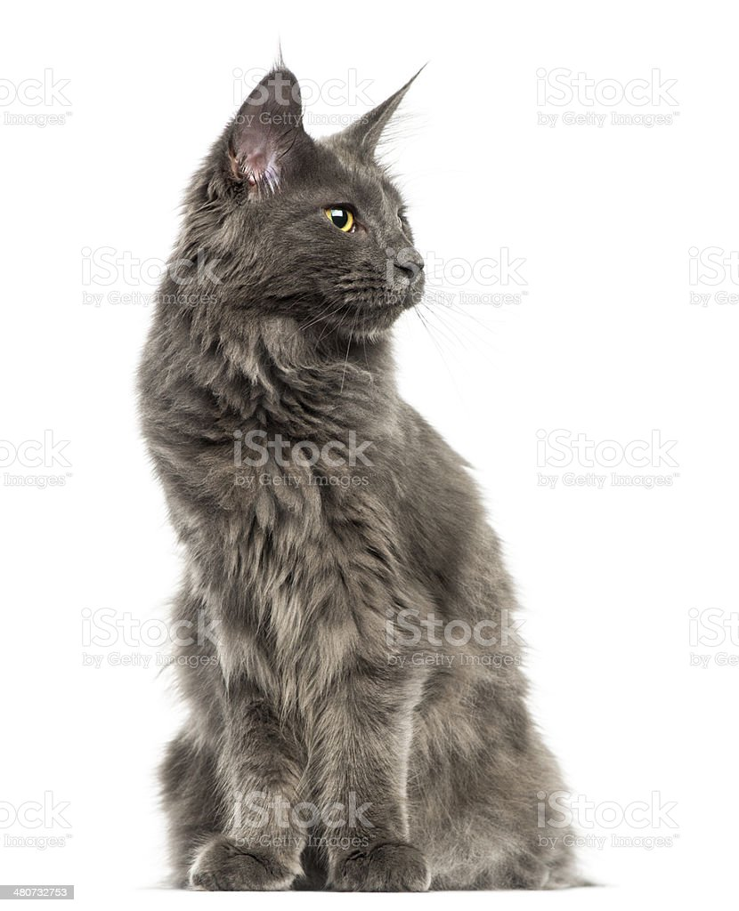 Maine Coon kitten sitting, looking away, 6 months old stock photo