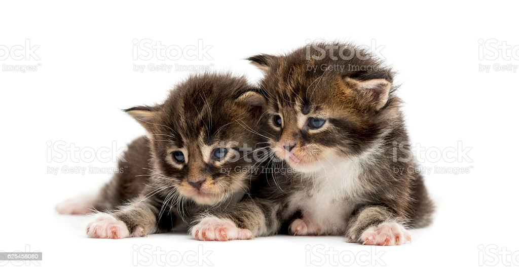 Maine coon kittens looking away isolated on white stock photo