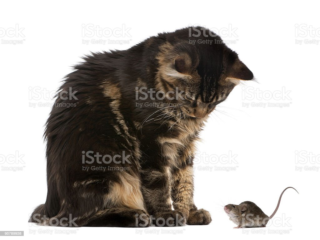 Maine Coon looking at wild mouse against white background royalty-free stock photo