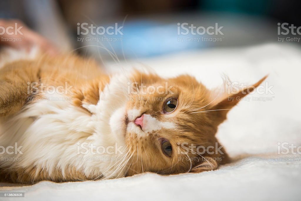 Maine Coon red tabby lying on bed stock photo