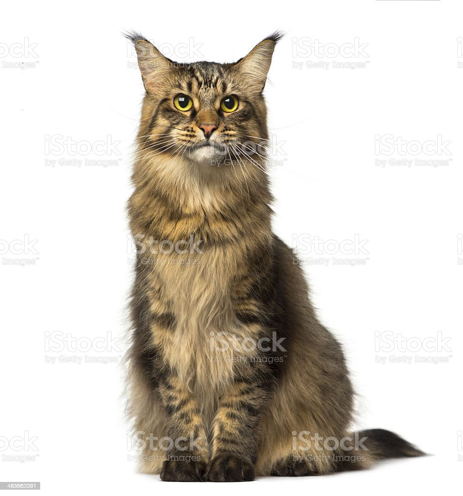 Maine Coon sitting and looking away stock photo