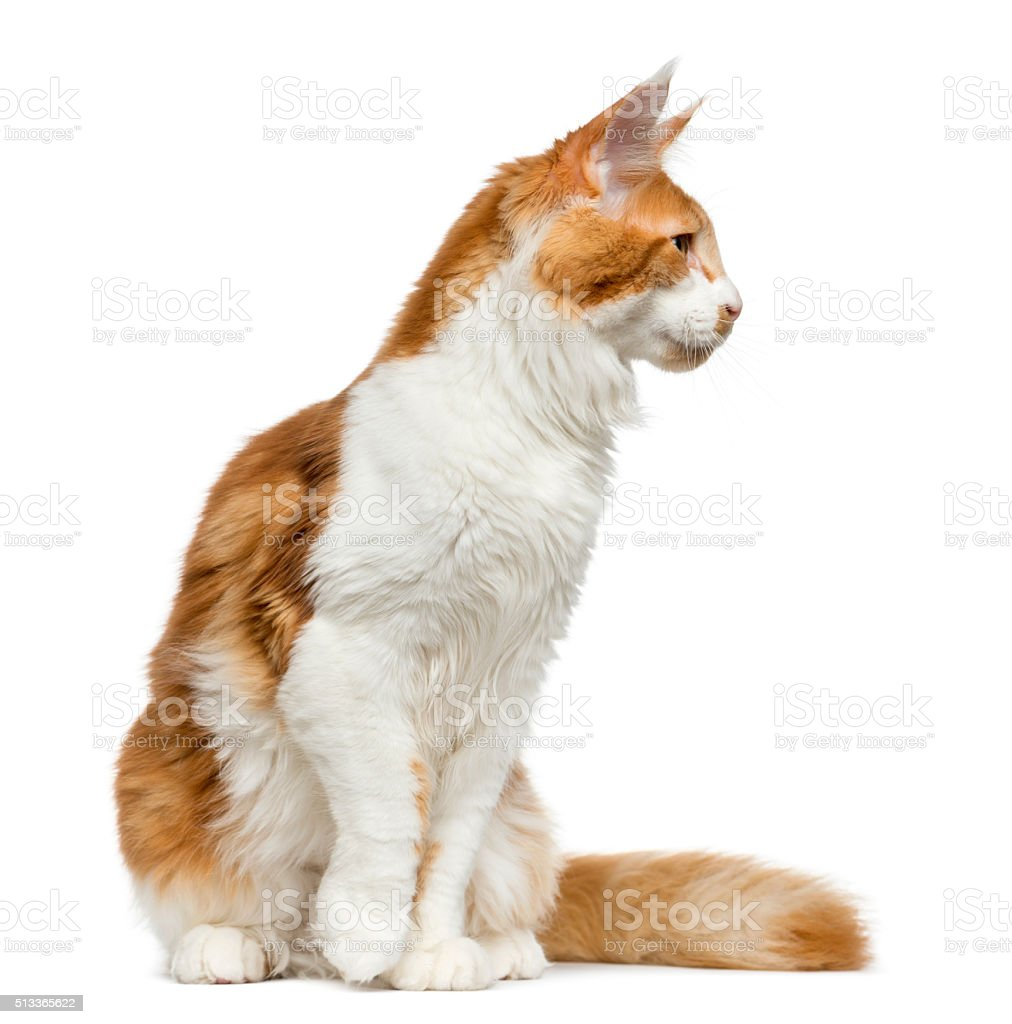 Maine Coon sitting in front of a white background stock photo
