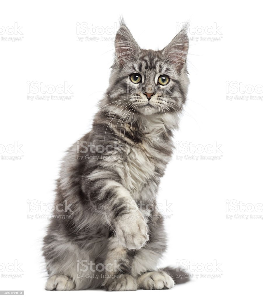 Maine Coon (2 years old) sitting, pawing and looking away stock photo