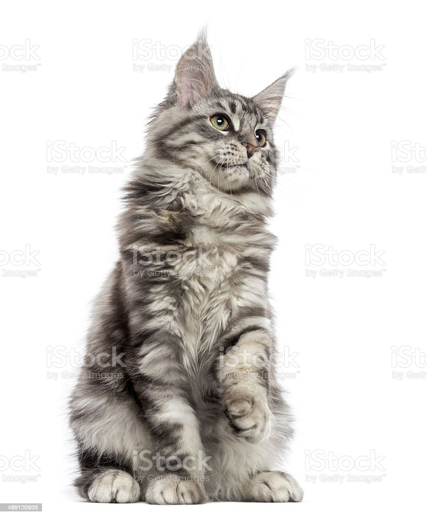 Maine Coon (2 years old) sitting, pawing and looking up stock photo