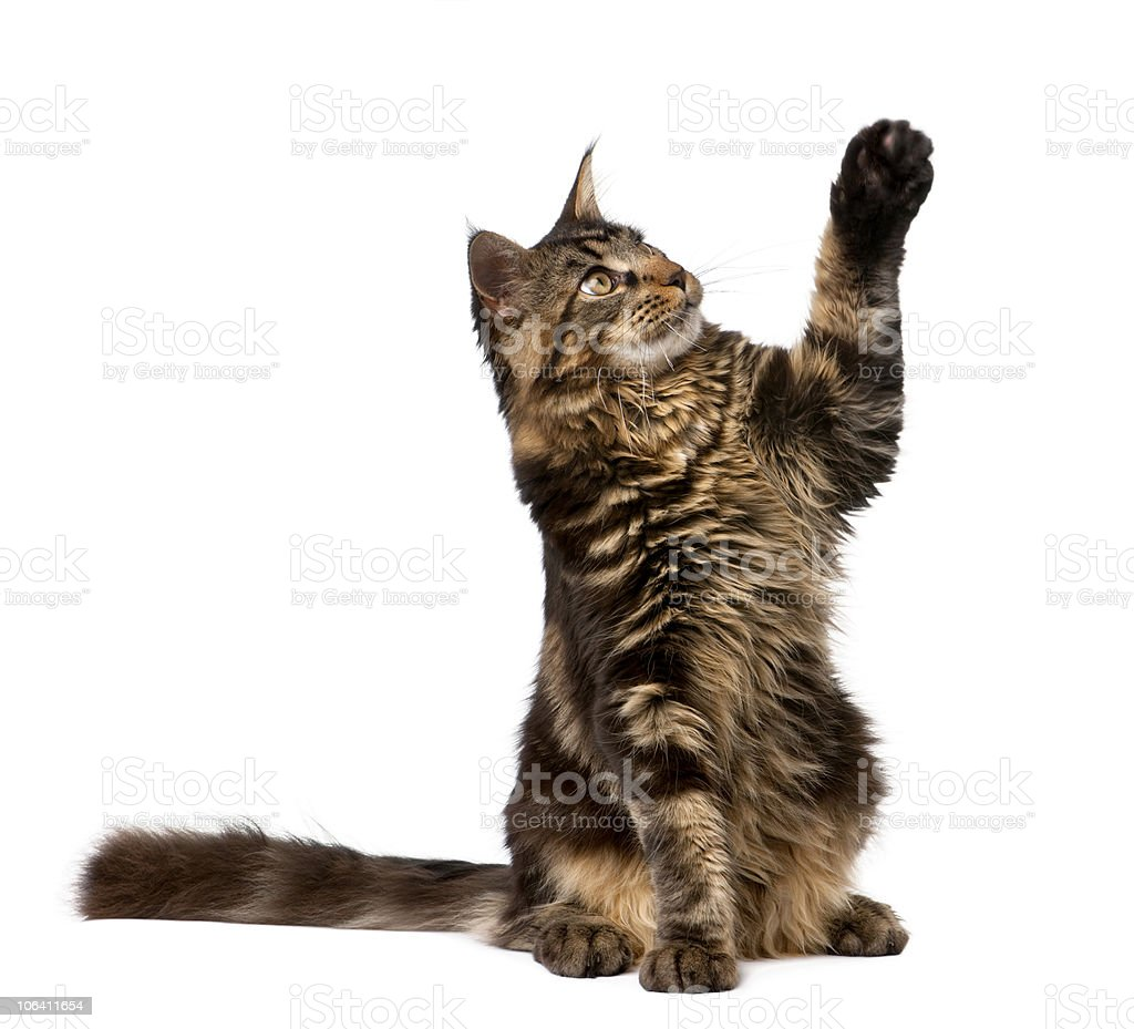 Maine Coon with paw in air, 7 months old. stock photo