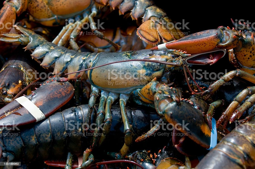 Maine lobster stock photo