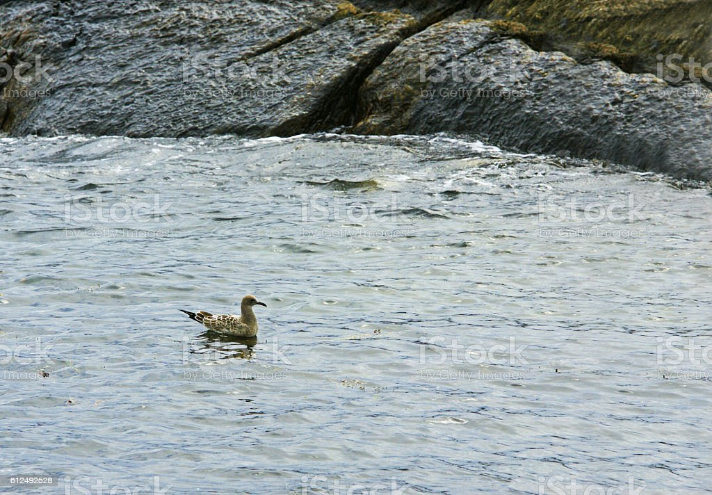 Maine shore bird stock photo