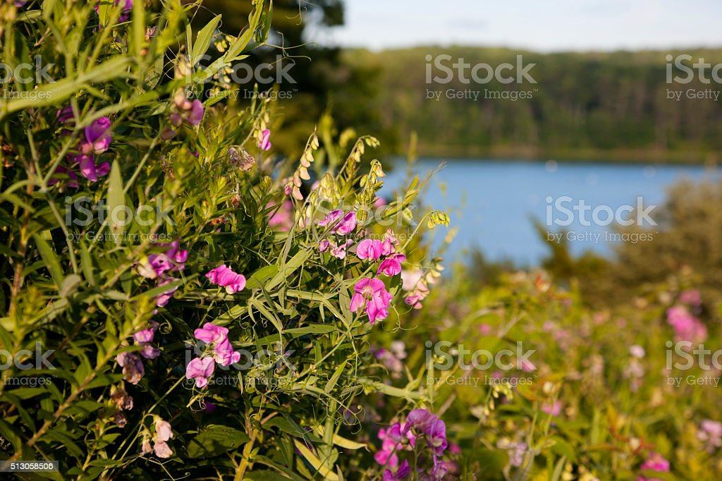 Maine wildflower -- Everlasting Pea stock photo