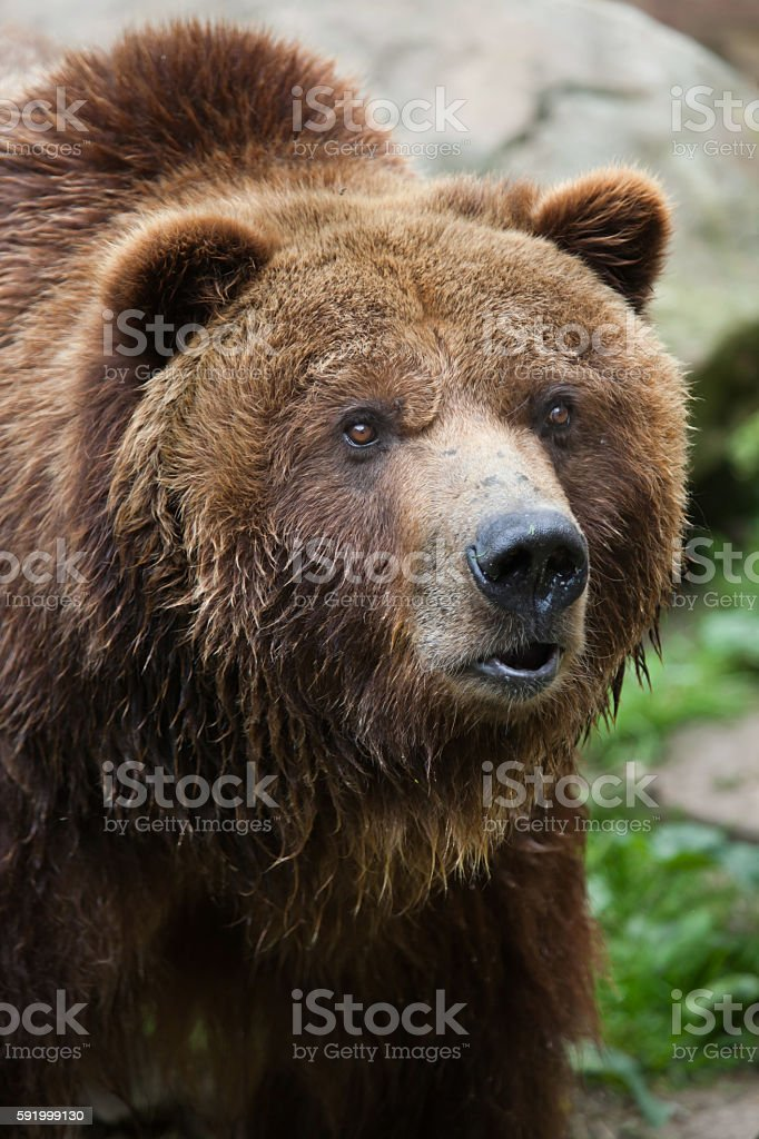 Mainland grizzly (Ursus arctos horribilis). stock photo