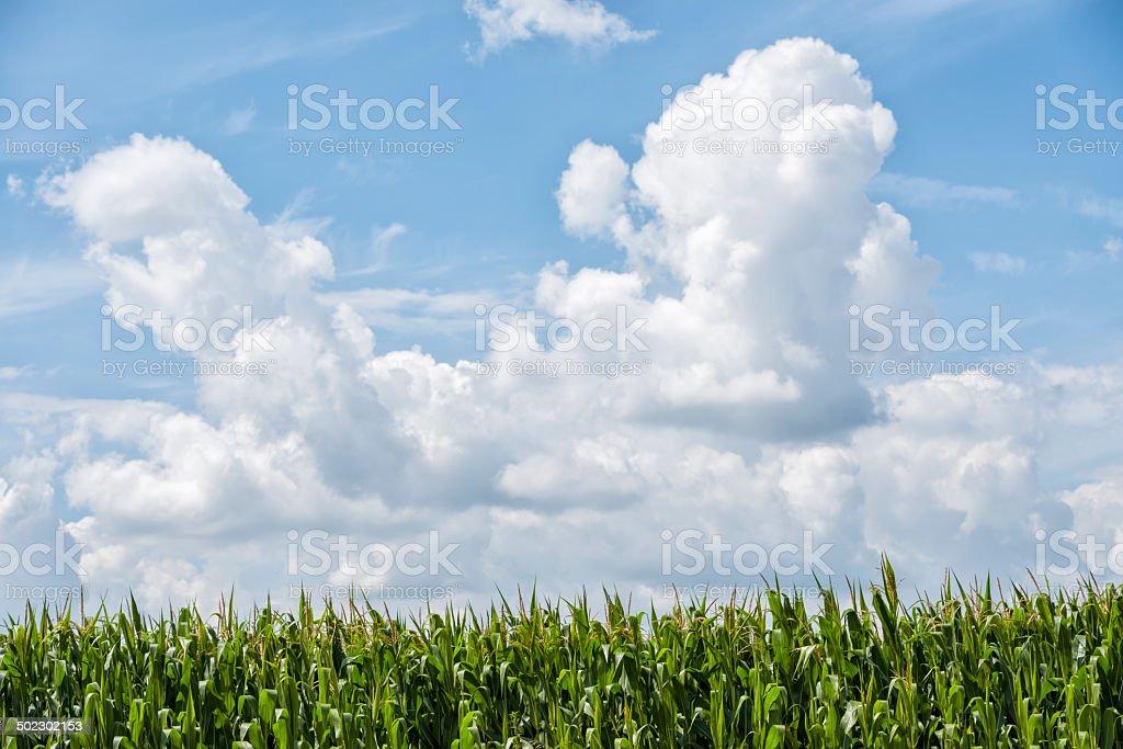Mais, Corn against cloudy sky stock photo
