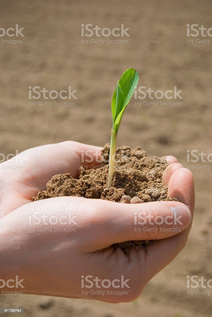 Mais plant in palm royalty-free stock photo