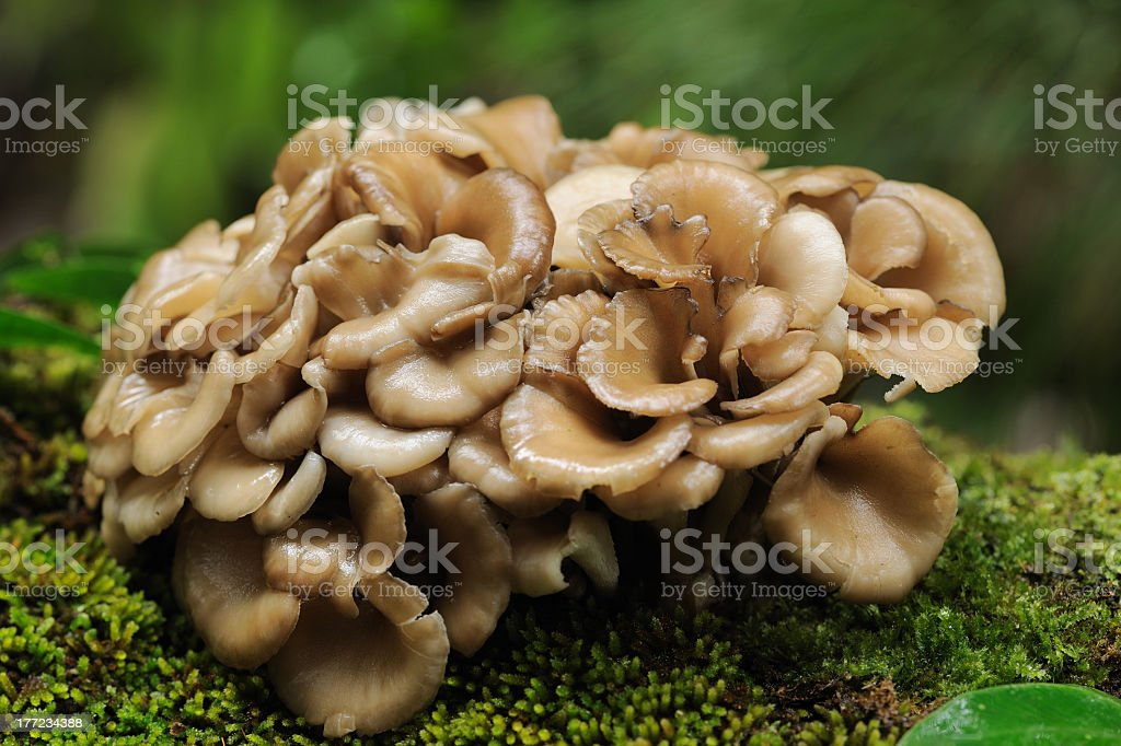 Maitake mushroom growing in the forest stock photo