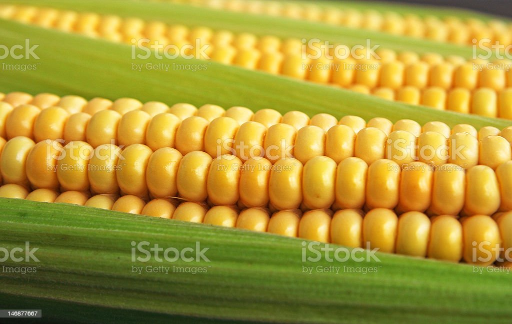 maize cob detail between green leaves royalty-free stock photo