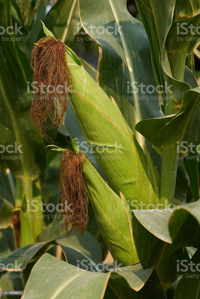 maize commonly known as corn royalty-free stock photo