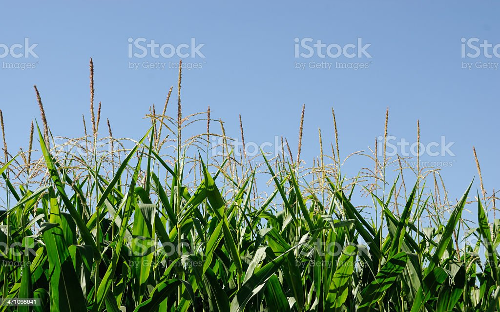Maize Crop royalty-free stock photo