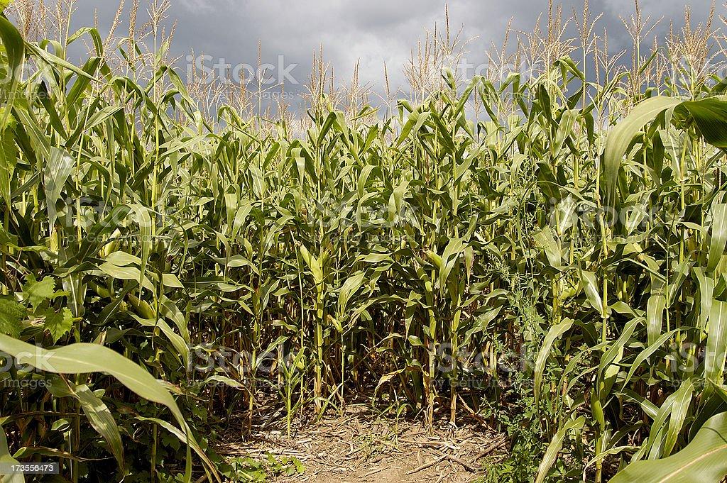 Maize dead-end stock photo
