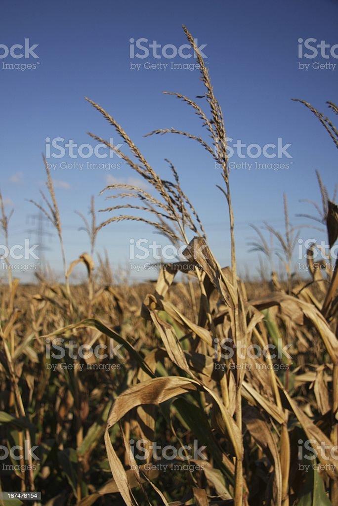 maize field royalty-free stock photo