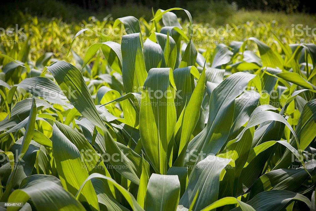 Кукурузный поле Стоковые фото Стоковая фотография