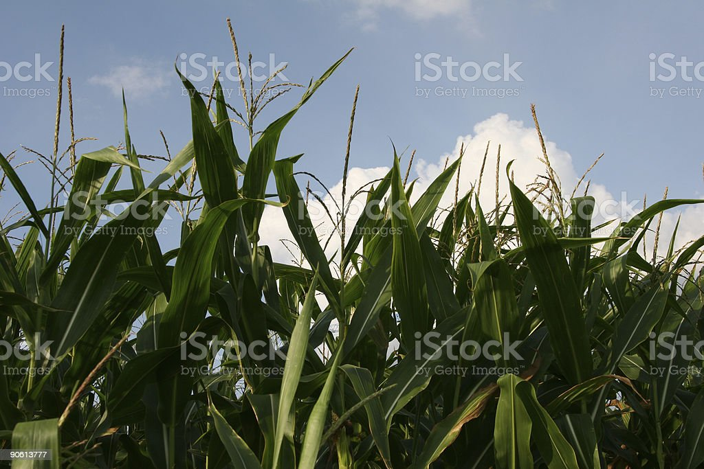 Maize plants against blue sky with clouds royalty-free stock photo