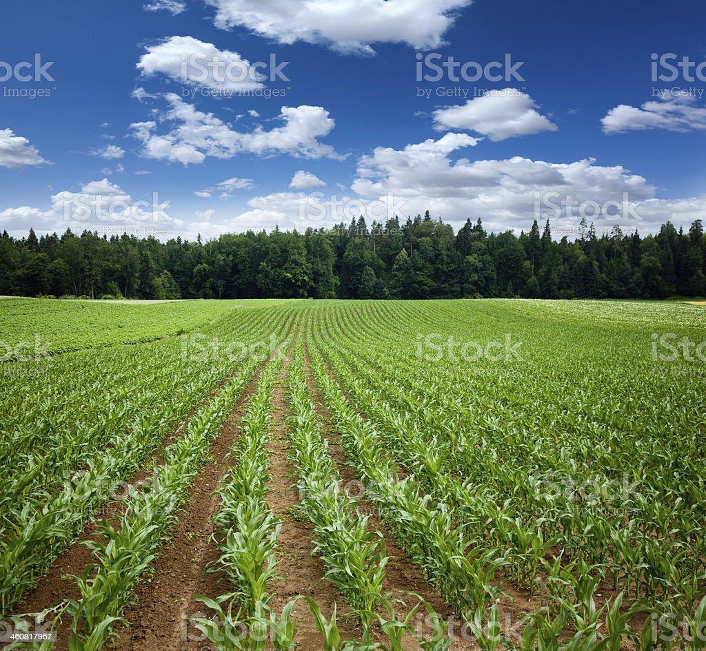 maize plants at farm field stock photo