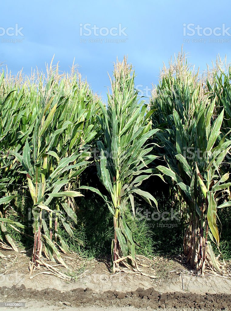 Maize Rows royalty-free stock photo
