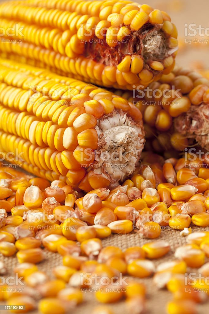 Maize Seeds on Burlap royalty-free stock photo