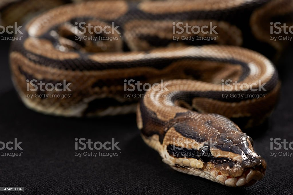 Majestic and deadly stock photo
