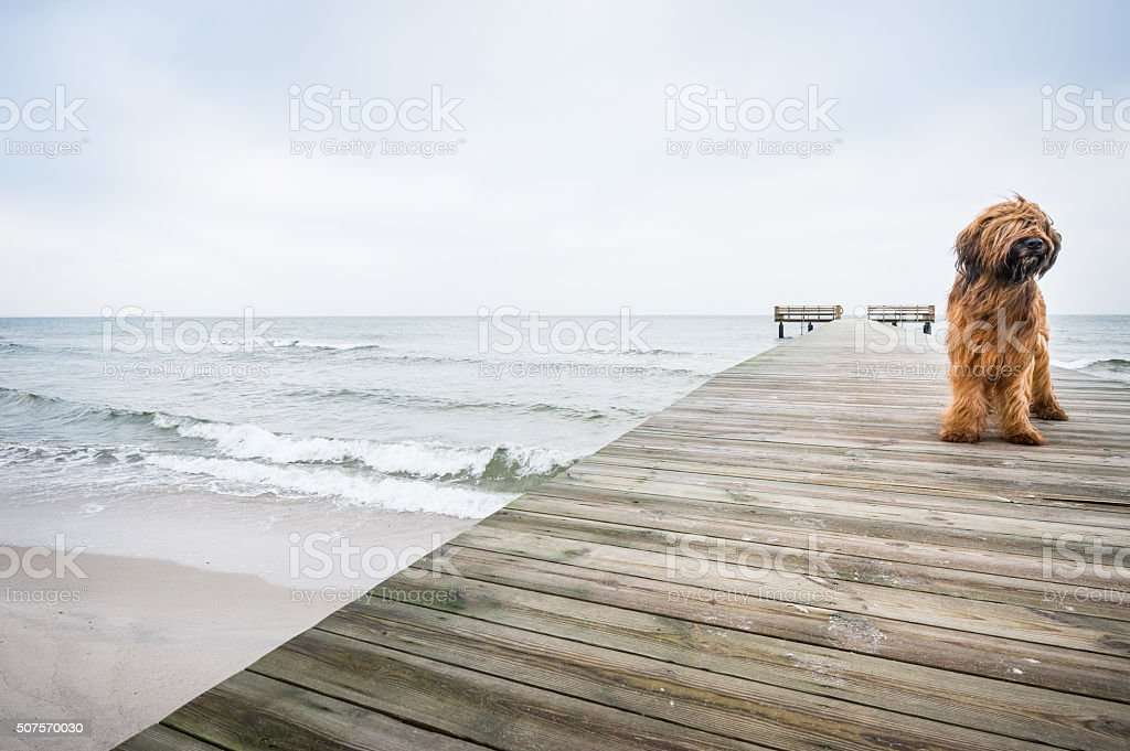 Majestic and elegant dog posing on a wooden pier stock photo