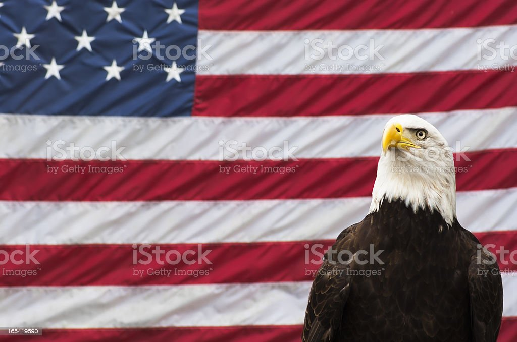 Majestic bald eagle in front of US flag royalty-free stock photo