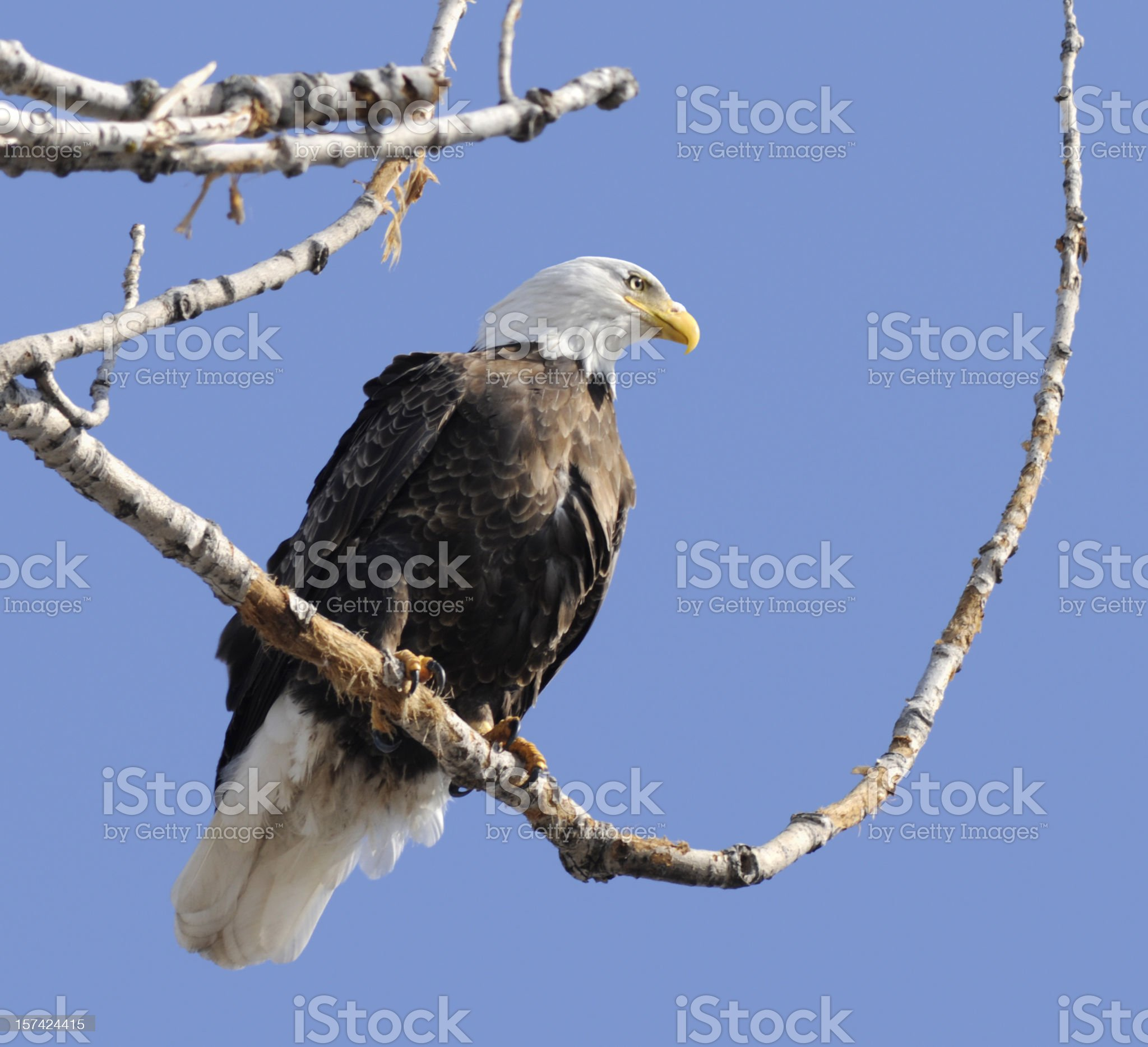Majestic Bald Eagle royalty-free stock photo