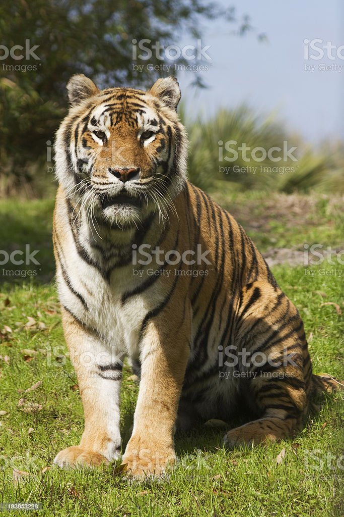 Majestic Bengal Tiger Sitting stock photo