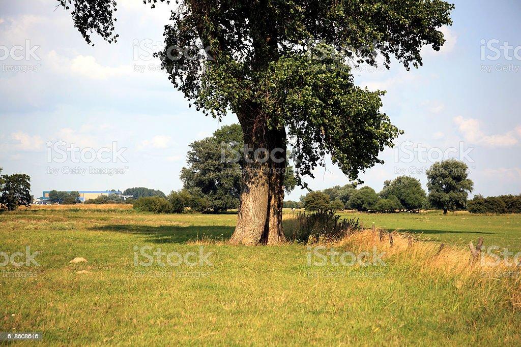 Majestic Black poplar in Biesbosch National Park, Netherlands stock photo